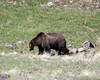 Grizzly Bear on the slopes of Mount Washburn in Yellowstone National Park. June 2009