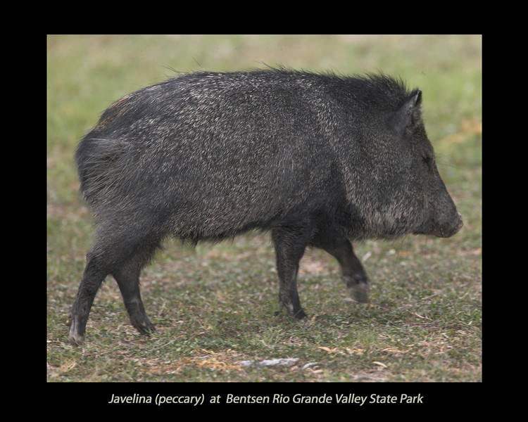 Javelina (Peccary) at Bentsen Rio Grande Valley State Park, April 5, 2007