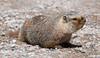 Marmot_161595