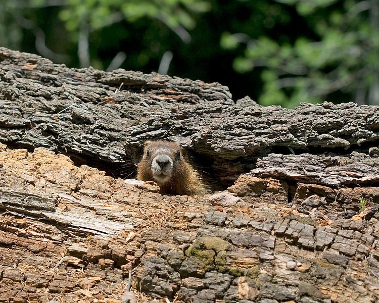 Marmot in hollow log near Red Rock Road in Island Park, ID. July 2008