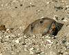 Pocket Gopher at Silent Valley RV Resort Dec 2006.