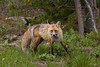 Red Fox along Red Rock Road, Island Park, ID