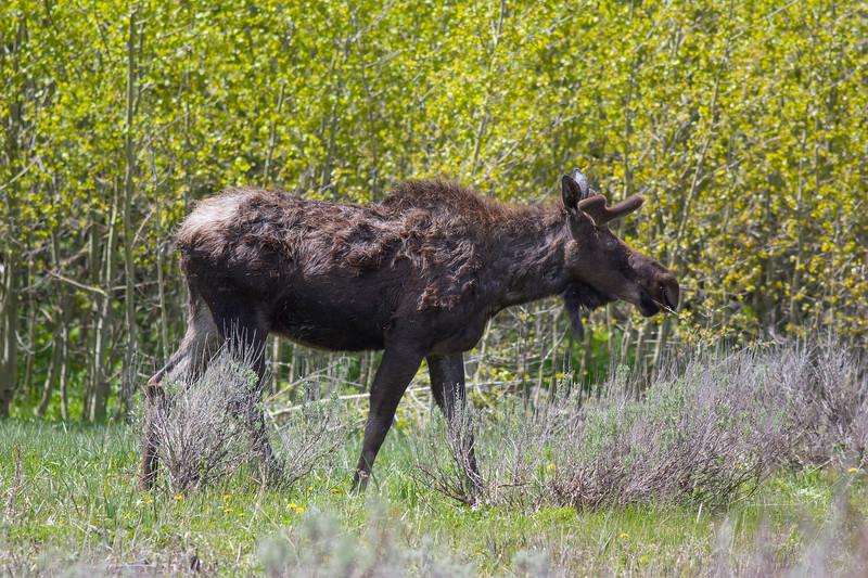 Moose_124749