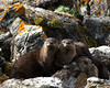 River Otters (Lontra canadensis) at Culver springs in Red Rock Lakes National wildlife Refuge. Aug 21, 2010.