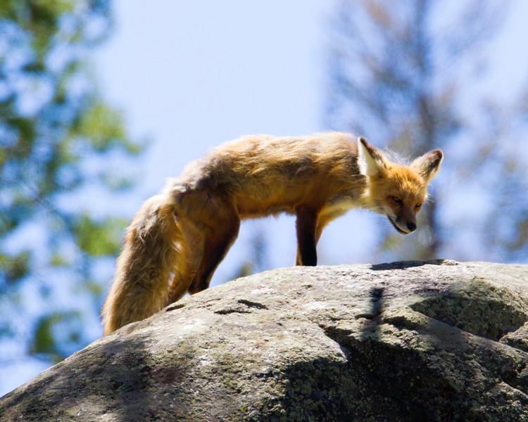 FoxYS_136238