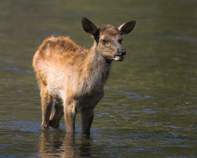 Juvenile Elk in Madison River, Yellowstone National Park, Sep 2007
