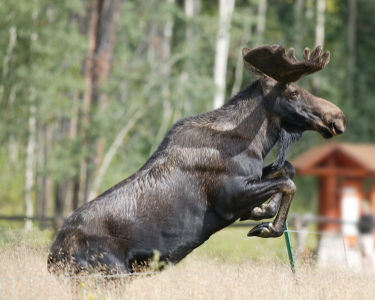 Moose jumping fence in Rocky Mountain National Park in Colorado