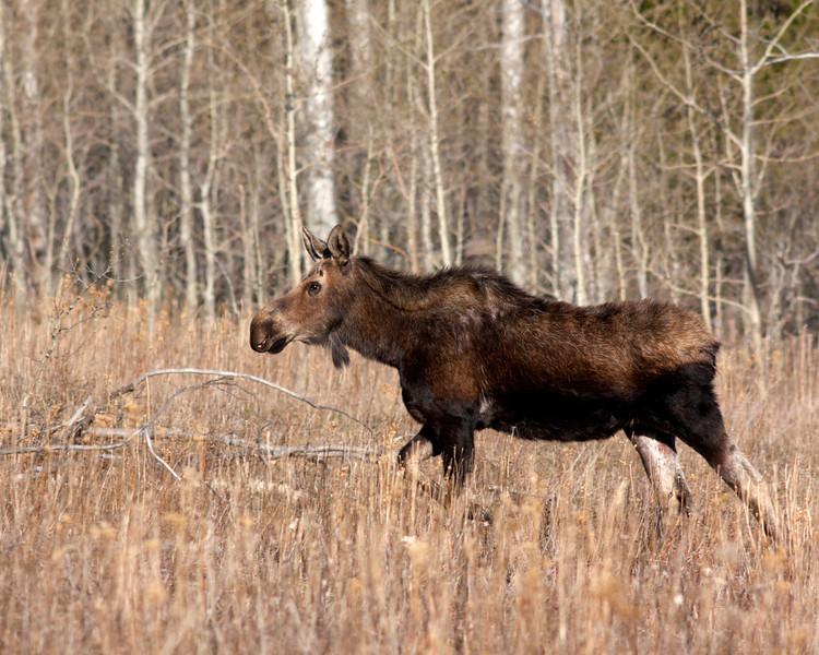 Female Moose was feeding in Centennial Valley, near Island Park, Idaho. May 7, 2012.