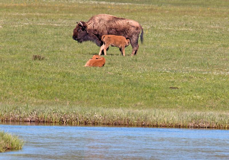 Bison nursing, Yellowstone
