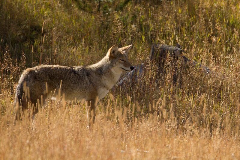 Healthy Coyote in Yellowstone National Park. Sep 23, 2010.