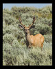 Male deer with velvet antlers on Montana/Idaho border along Continental Divide. July 12, 2006