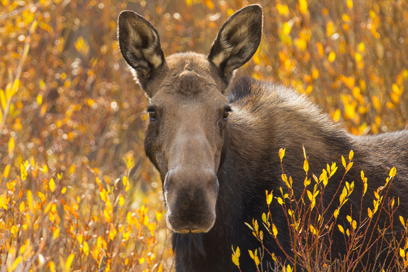 The day before Moose Hunting in Red Rock Lakes National Wildlife Refuge. Wondering whether this girl will live another year or end up as a wall trophy for some hunter?  It's OK, she probably doesn't have any feelings anyway or anyone that would miss her. Sep 28, 2012, Montana