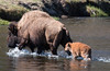 Bison Crossing Madison River with Calf Yellowstone