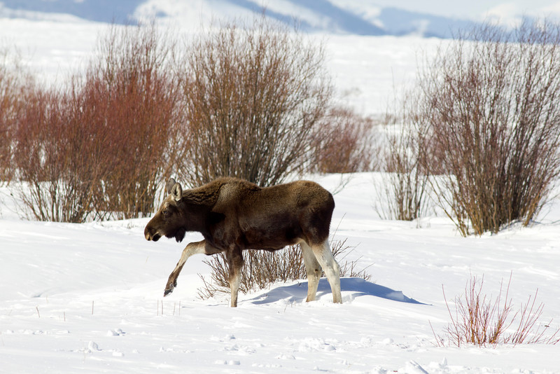 This moose calf was running through the snow to be near its mother as I was photographing them near Elk Springs Creek in Red Rock Lakes National Wildlife Refuge in Montana in Feb 2011.