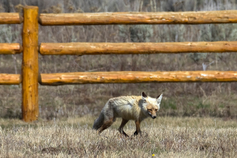 Red Fox at RedRock RV Park, near Island Park, Idaho. May 16, 2010.