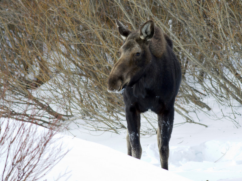 Moose cow (Alces alces shirasi) ponders the photographer at Red Rock Creek in Red Rock Lakes National Wildlife Refuge in mid-February, 2011. Montana