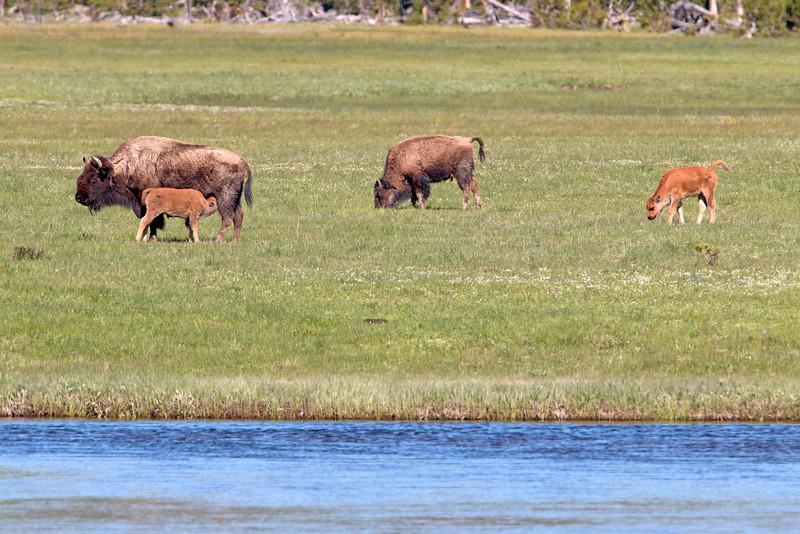 Nursing Bison, Gibbon River