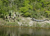 Alligator in Aransas Wildlife Refuge in Texas