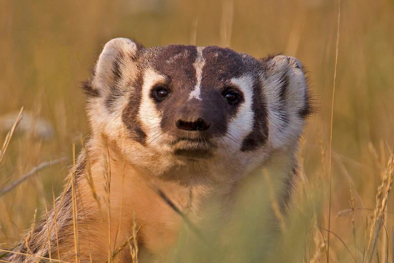 Badger face. Idaho. Aug 13, 2012