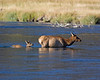 Momma, it's deep here! Mother Elk and juvenile crossing the Madison River in Yellowstone Natl Park, Wyoming. Sep 15, 2008.