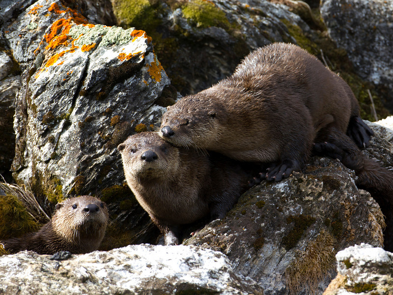 American River Otters at Picnic Springs