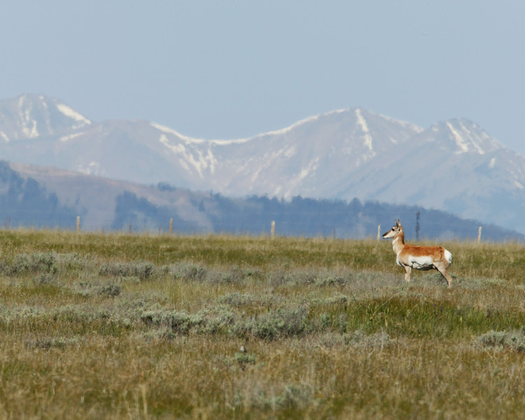 Pronghorn (sometimes called Antelope, though not a true Antelope) at Red Rock Lakes National Wildlife Refuge with Montana mountains in the background. June 12, 2007