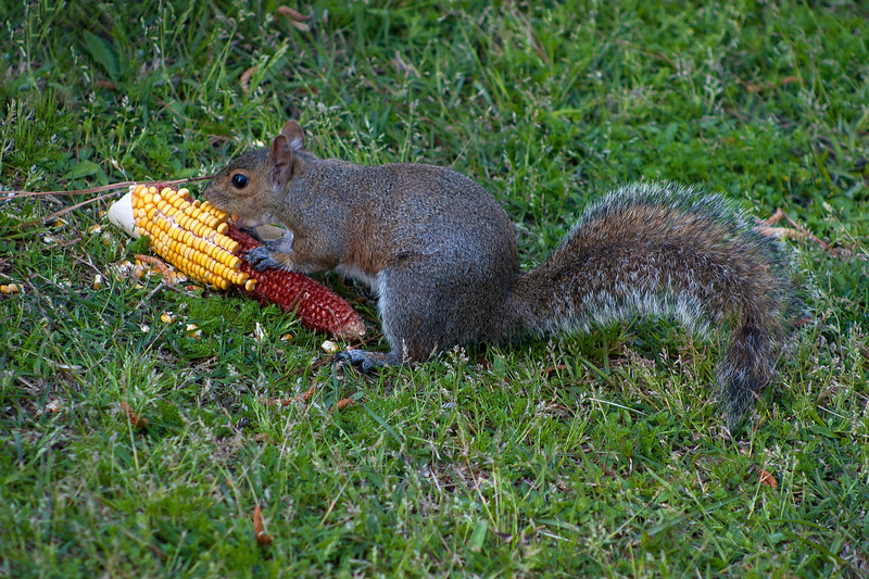 Squirrel eating corn