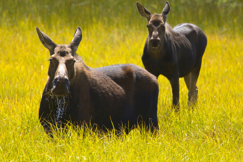 Moose with calf (actually there were two calves) on Picnic Creek in Red Rock Lakes Nat'l Wildlife Refuge. Aug 2010.