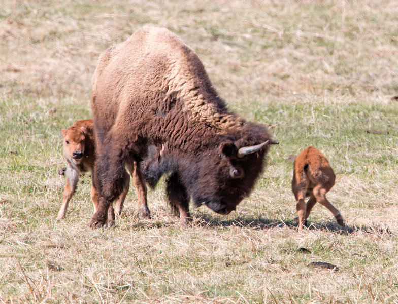 Bison in Yellowstone with calves