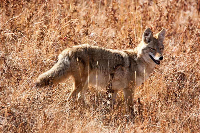Coyote in Yellowstone National Park, along Blacktail Ridge road. Sep 27, 2012 Wyoming