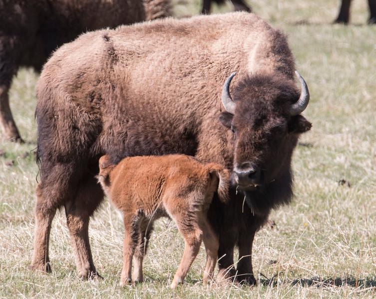 Bison Nursing calf in Yellowstone