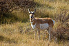 Pronghorn at Red Rock Lakes National Wildlife Refuge, Sep 28, 2012.