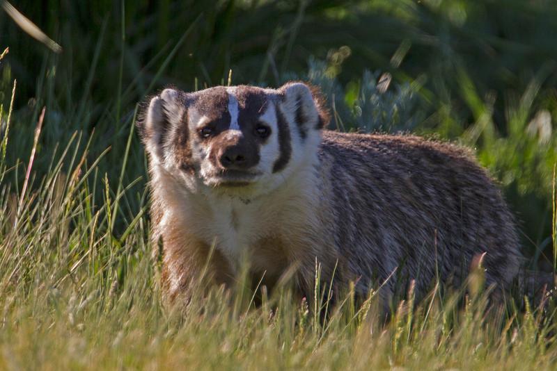 Badger in Idaho