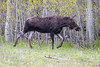 Moose along Red Rock Road, Targhee Forest