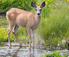 Deer_171226