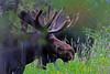 Moose_129698