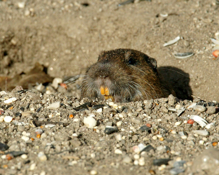 Pocket Gopher with characteristic orange front teeth. Silent Valley RV Resort, Dec 2006.
