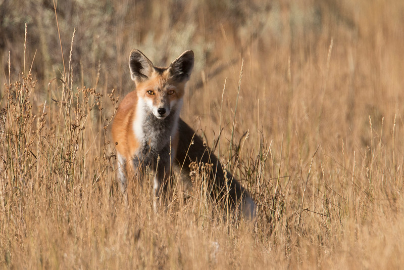 RedFox_167265