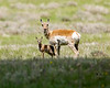 Mother and juvenile Pronghorn in Red Rock Lakes National Wildlife Refuge, Montana. The pronghorn outruns all his predators and are only exceeded by the African cheetah in speed(45 mph). June 14, 2008.
