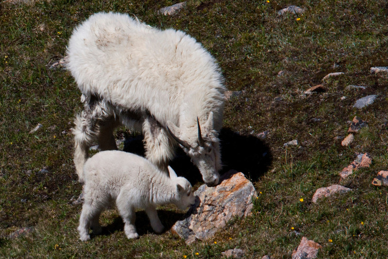Mountain Goat and kid on Beartooth Plateau in Wyoming. June 29, 2012.