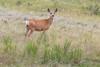 Deer_162733