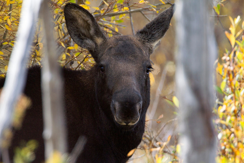 Young Moose at Idlewild road, Red Rock Lakes National Wildlife Refuge, Montana, Sep 28, 2012.
