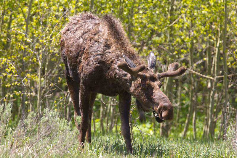 Male Moose in Red Rock Lakes National Wildlife Refuge. June 21, 2011 along South Valley Road.