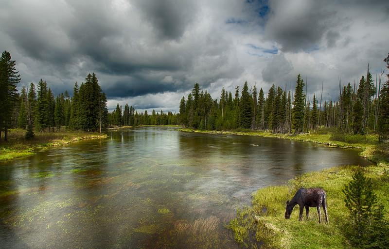 Moose along Snake River