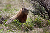 Yellow-bellied marmot (Marmota flaviventris) along the Montana/Idaho continental divide. June 3, 2012.