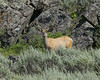 Male Deer in area near Continental Divide near Idaho/Montana border.