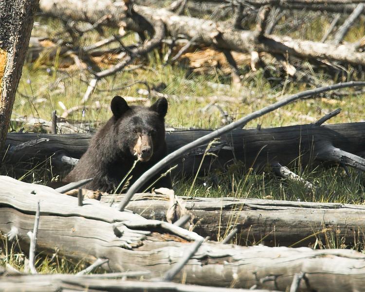 Black Bear in Yellowstone eating a deer or elk carcass. Sep 2007