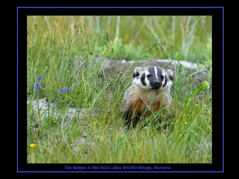 Badger in Rock Rock Lakes Wildlife Refuge