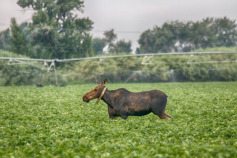 Moose in Potato Field