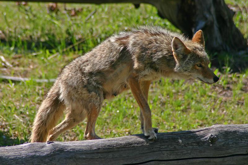 Coyote in Yellowstone.